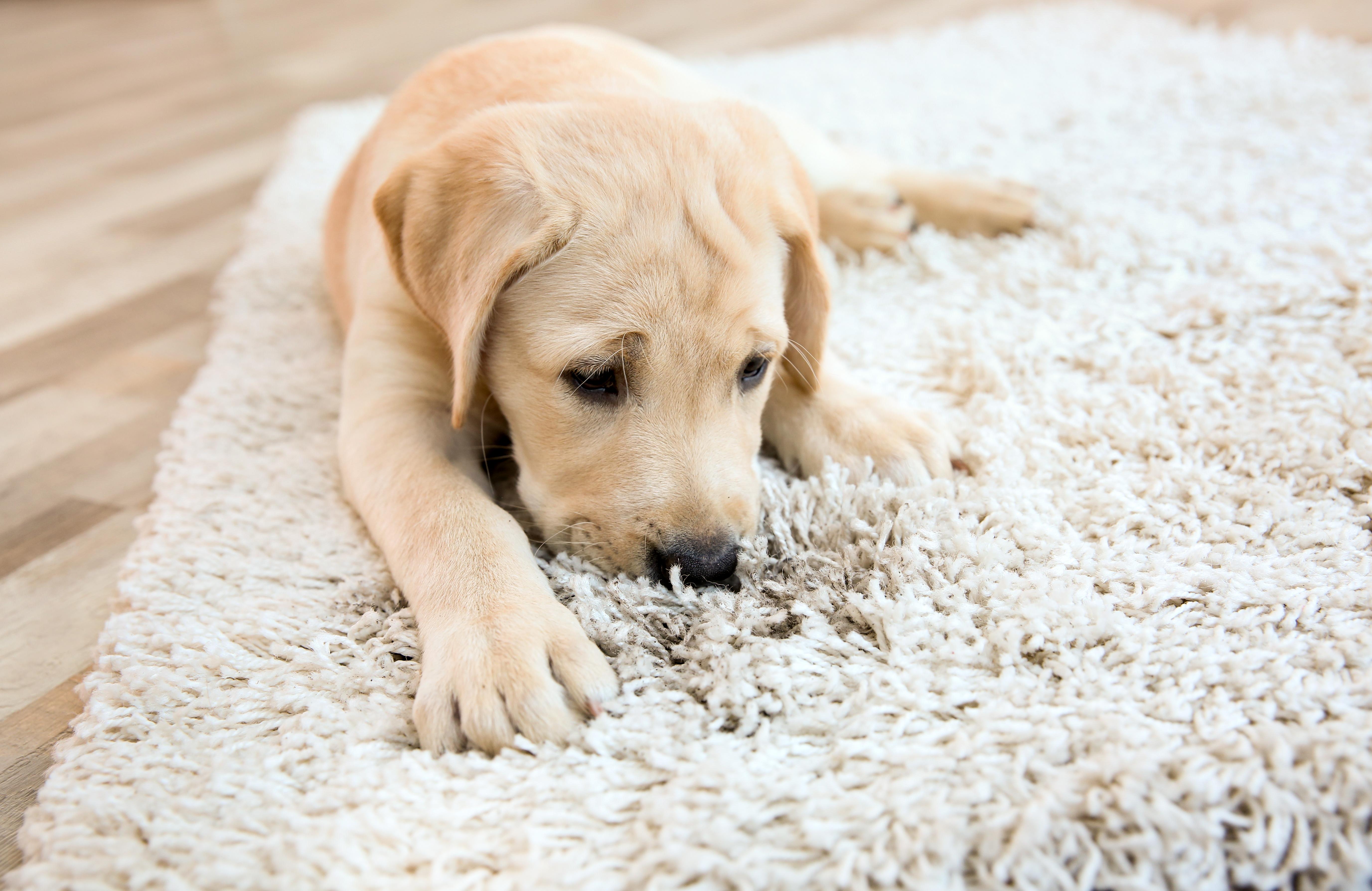Comment nettoyer un tapis pais ou sali par de nombreux passages les astucieux - Comment nettoyer un tapis a poil long ...
